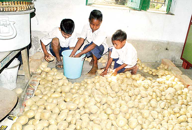 আলু বাছাইয়ে ব্যস্ত পড়ুয়ারা। দারোগাচক প্রাথমিক স্কুলে নিজস্ব চিত্র।