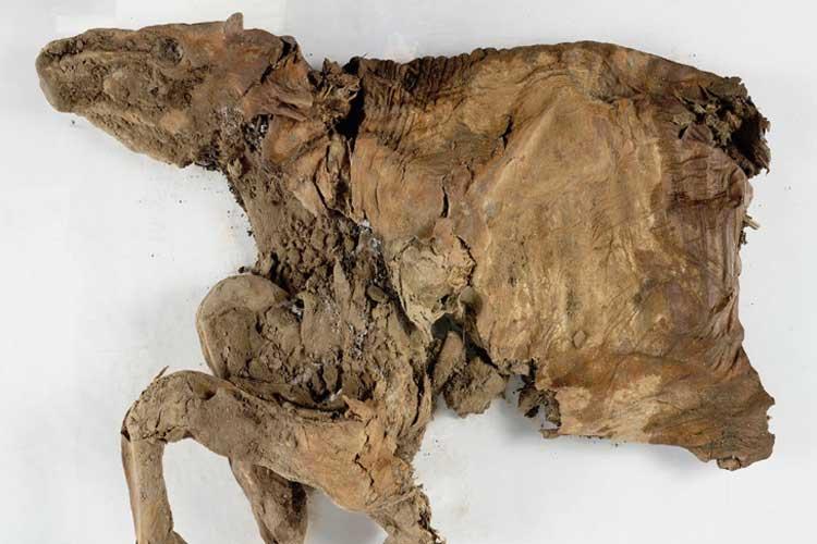 এই ক্যারিবু হরিণের দেহাবশেষ মিলেছে। ছবি: সৌজন্যে ইউকুন সরকারের টুইটার অ্যাকাউন্ট।