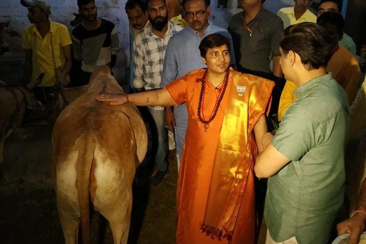 গোশালায় গরুর গায়েো হাত বোলাচ্ছেন সাধ্বী প্রজ্ঞা। ছবি টুইটার থেকে সংগৃহীত।