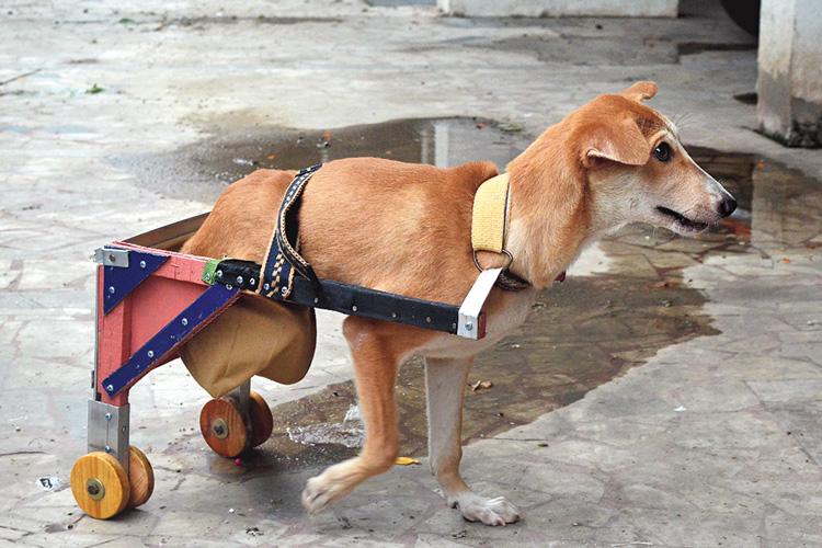 হাঁটিহাঁটি: ওয়াকিং ট্রলি নিয়ে ছোট্ট তৈমুর। শ্যামনগরে। ছবি: সজল চট্টোপাধ্যায়