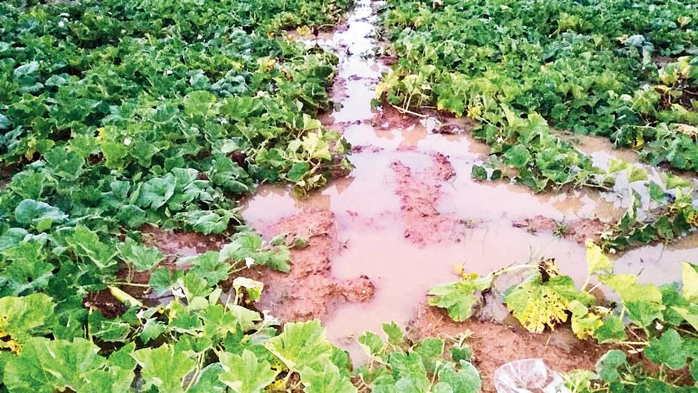 বিপত্তি: লাউয়ের জমিতে জমেছে জল। বুধবার ঝালদার পুস্তি পঞ্চায়েতের হেপাদ এলাকায়। নিজস্ব চিত্র