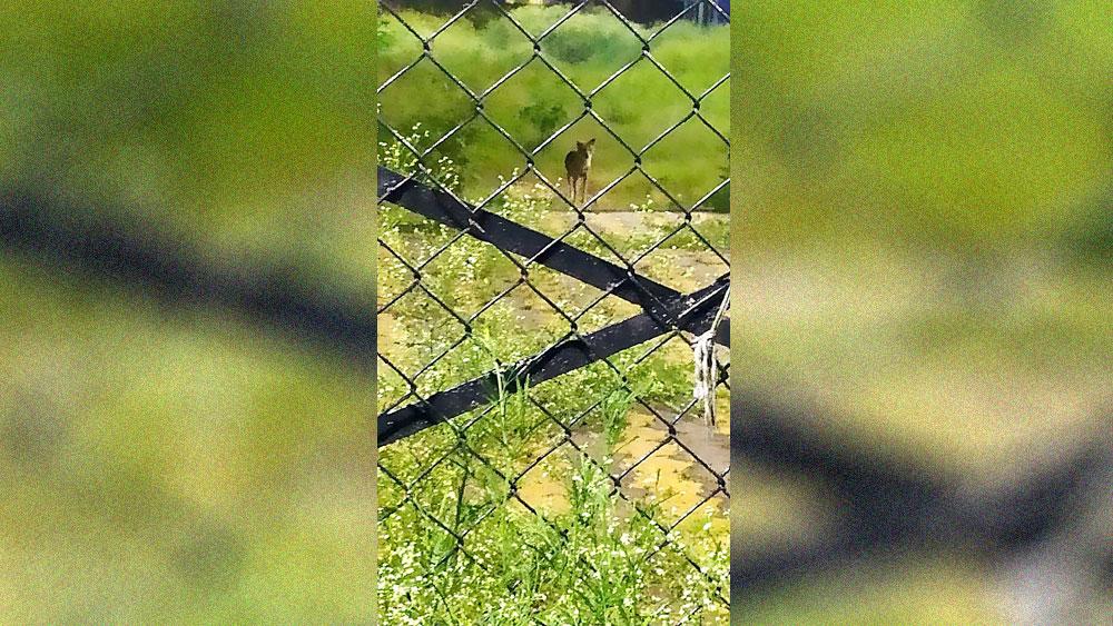 প্রাণী ও মৎস্যবিজ্ঞান বিশ্ববিদ্যালয় ক্যাম্পাসে দেখা মিলছে শেয়ালের। নিজস্ব চিত্র