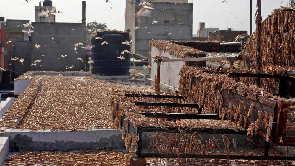 রাজস্থানের লোকালয়ে হানা দিয়েছে পঙ্গপাল। ছবি: এএফপি