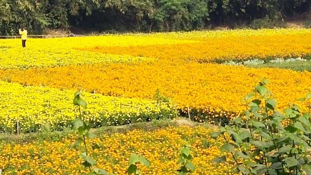 বিস্তৃত: জমির পর জমিতে গাঁদার বাহার