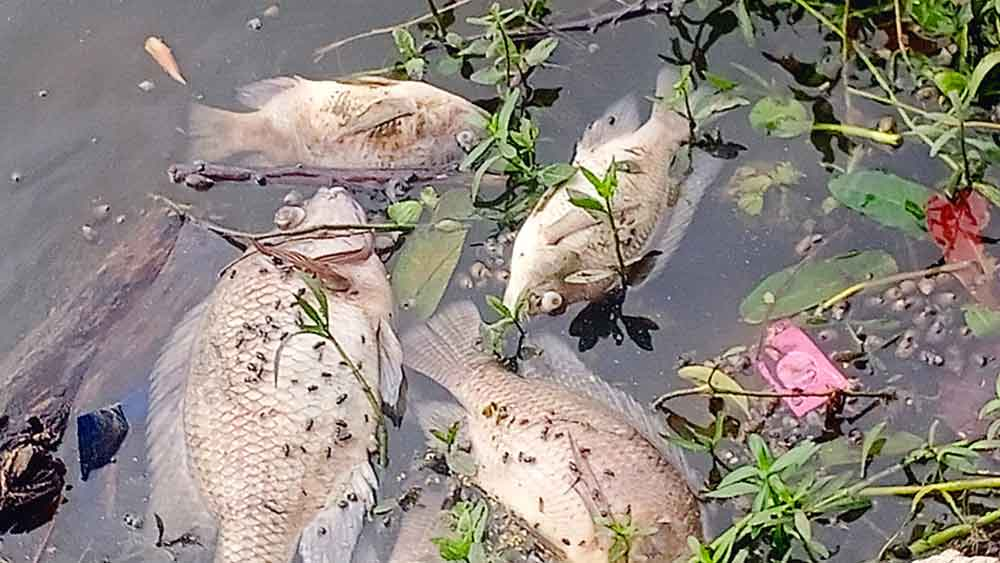 অঘটন: মরা মাছ ভাসছে ঝিলের জলে। নিজস্ব চিত্র