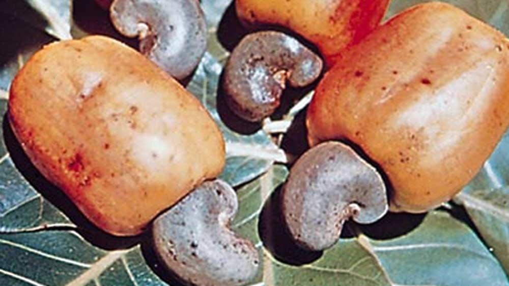 কাজু বাদামের গাছ ব্রাজিল থেকে ভারতে এনেছিল পর্তুগিজরা। সেই ফল থেকে প্রথম কবে ফেনি তৈরি শুরু হয়েছিল, সে তথ্য অজানা।