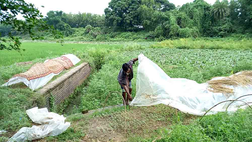 ব্রোকলি খেত ঢাকছেন চাষি, বর্ধমানের মিলিকপাড়ায়। নিজস্ব চিত্র