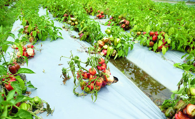 A destroyed capsicum farm at Krishnaighat village in Nagaon district.