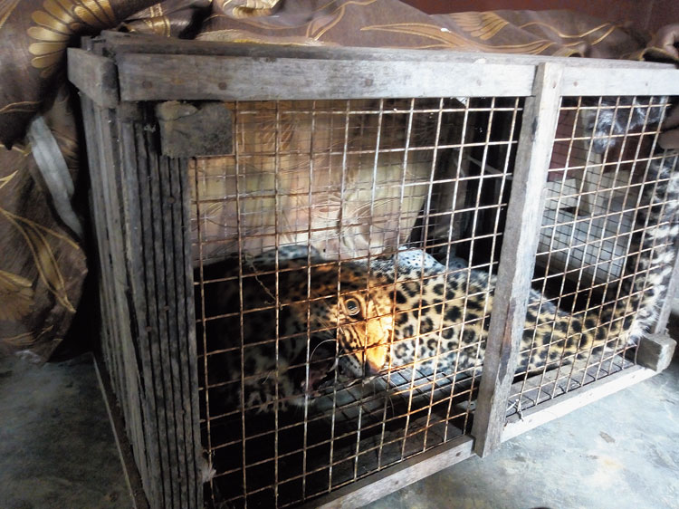 The rescued leopard