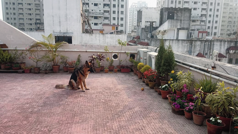 Iris, the German Shepherd Dog, makes do in the terrace of her New Town BF Block house as she can no longer go out for walks