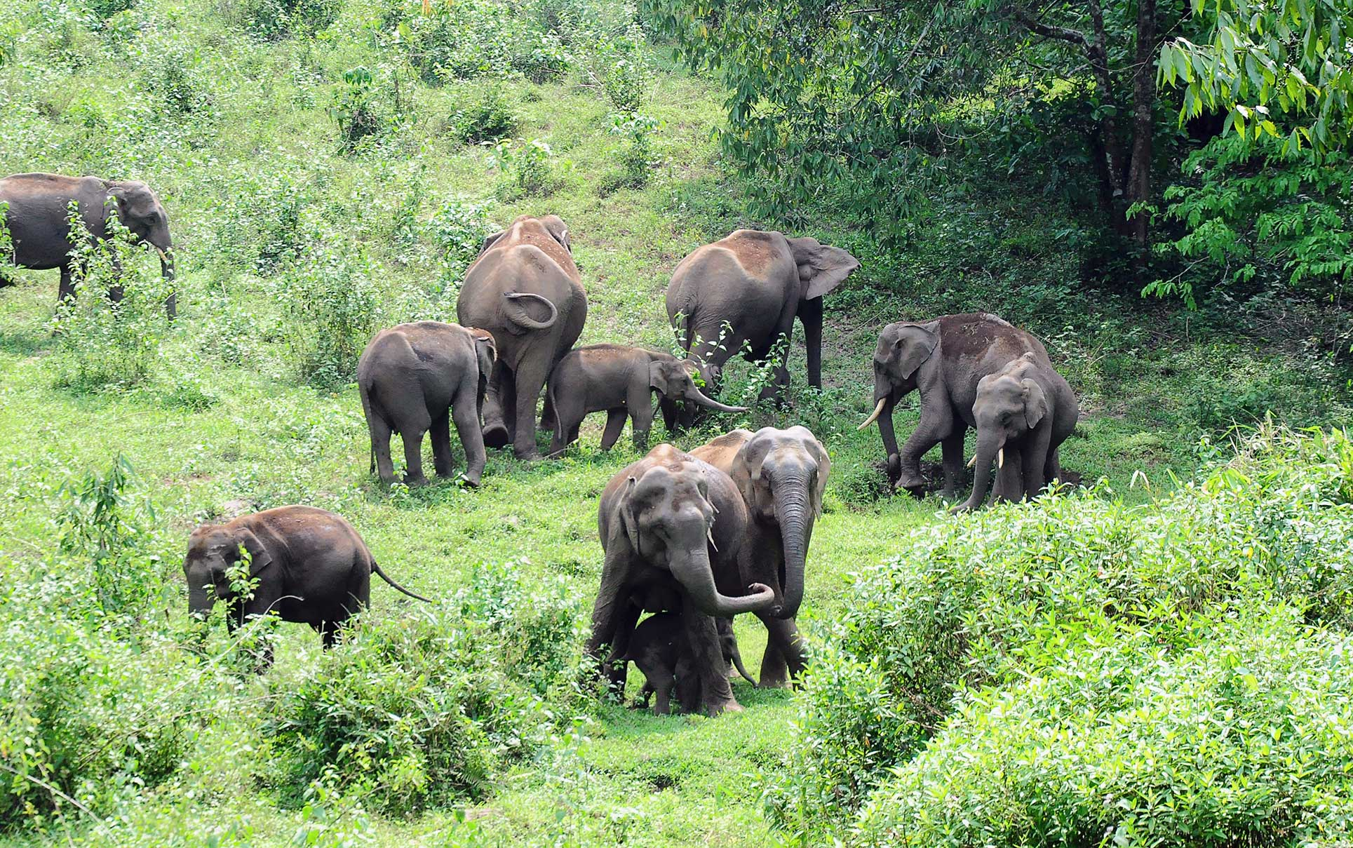 A herd of wild elephants graze near a road in Malakkappara, Thrissur district, in Kerala on Thursday. Vehicular traffic through this road has almost ceased because of the ongoing lockdown and wild elephants have appeared close to human habitat.