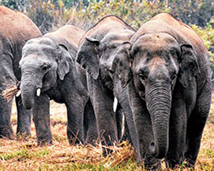 A family of pachyderms descended on Hassan on the day of the vote
