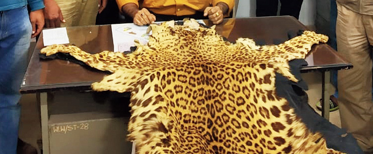 The seized leopard skin.