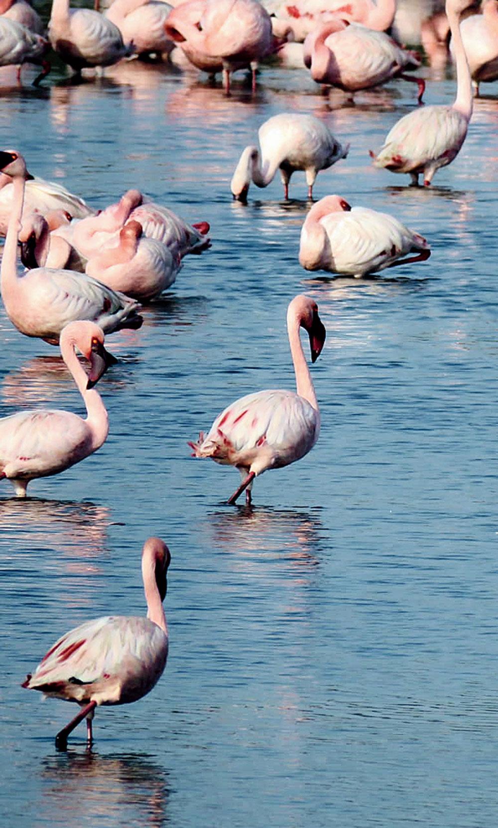 Flamingos flocked to Mumbai during the lockdown