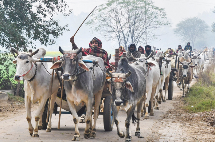 Nomads ride on bullock carts on a cold winter morning in the Jind district of Haryana