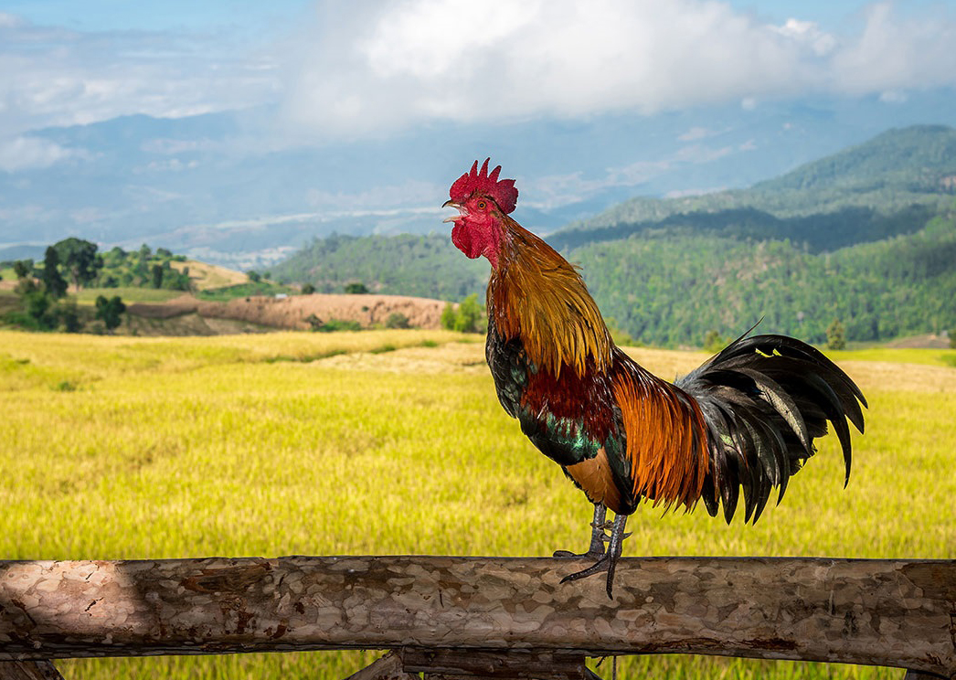 Two years ago, the owner of a rooster was hauled to court by vacationers who found the bird's noise intolerable. Elsewhere, a visitor asked the mayor of a village to stop the merry chiming of church bells, and a pond owner faced legal troubles over the frenzied croaking of amorous frogs
