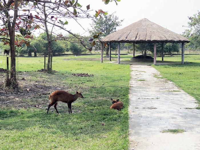 Barking deer in an enclosure at Harinalaya