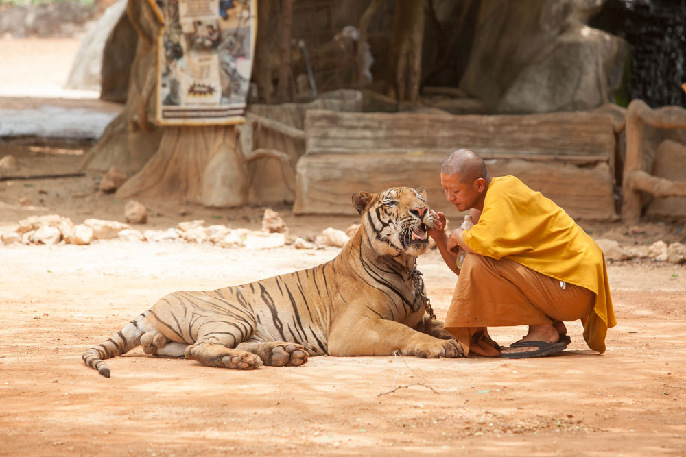 A monk plays with a tiger at the Tiger Temple in 2014