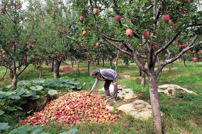 A farmer shows a pile of rotten apples in his orchard in Wuyan on October 6.