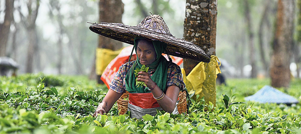 A tea garden worker in Assam