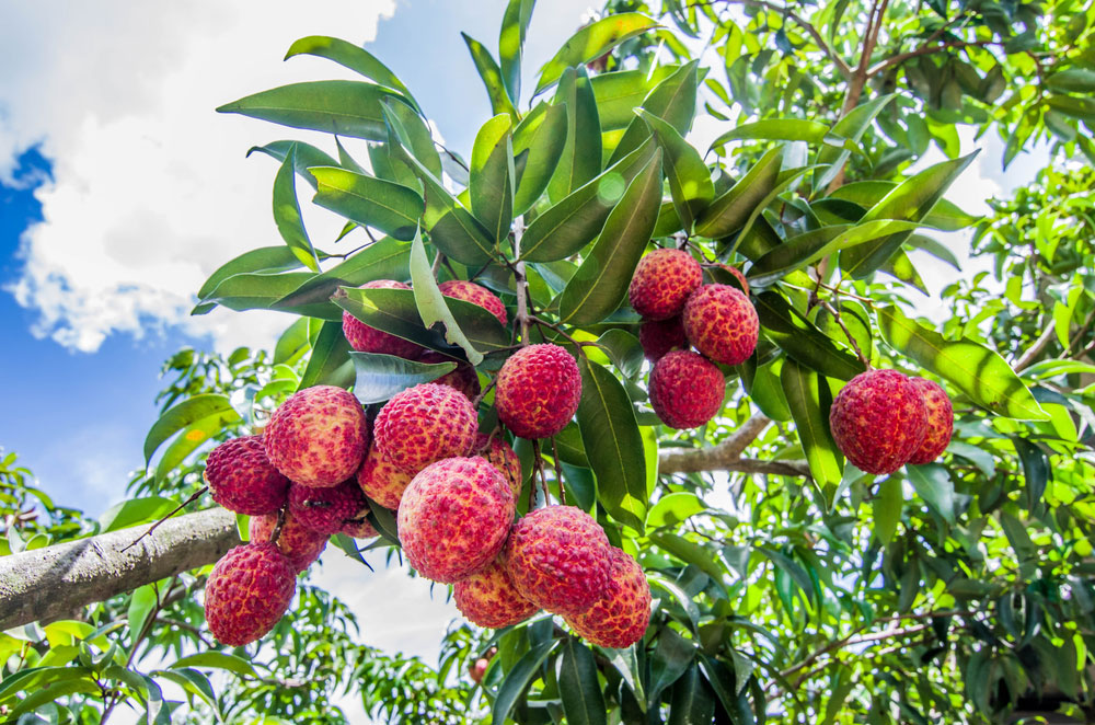 The rain and storms that accompanied Cyclone Fani came as boon for the litchi farmers of West Bengal