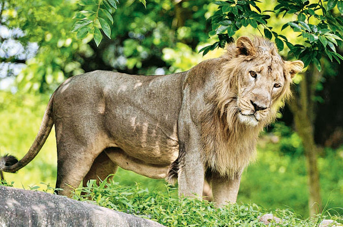 Reasons for Gir lion deaths must be made public
