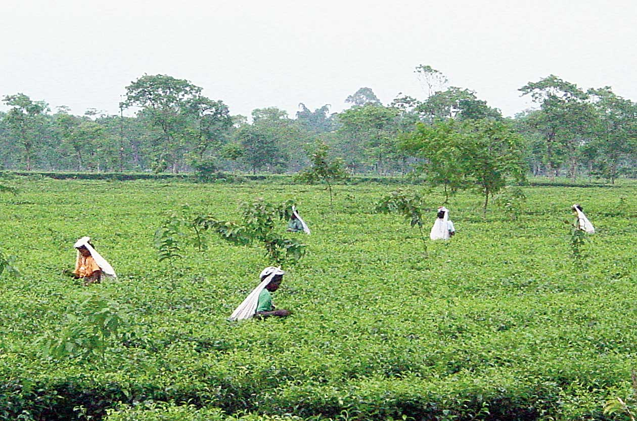 An association of tea planters held factors such as price and less orders from traditional markets like Russia and UAE responsible for the fall in India's share on the global market.