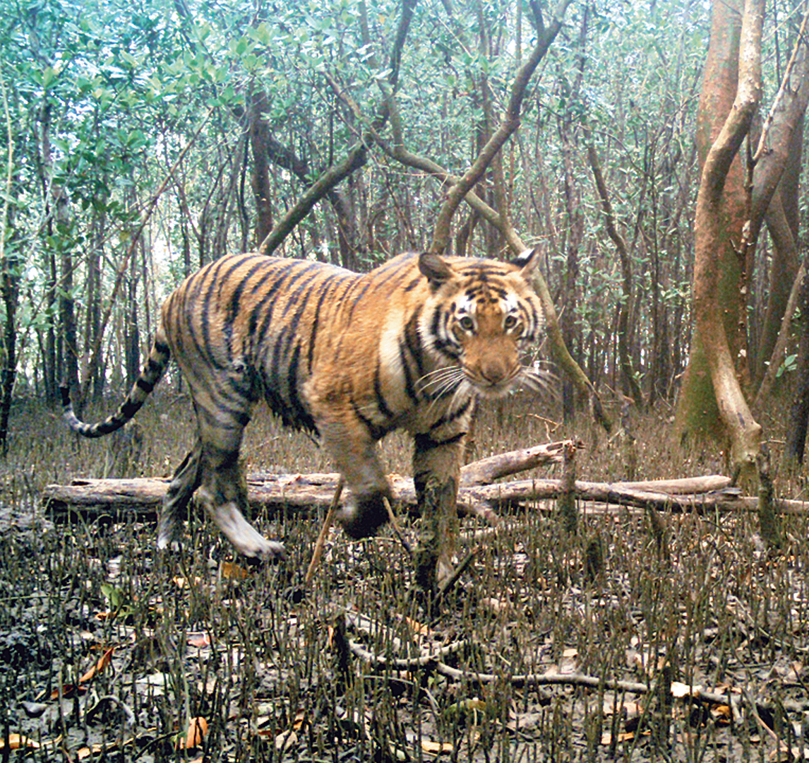 A tigers caught on one of the cameras placed in the Sunderbans in February 2018.