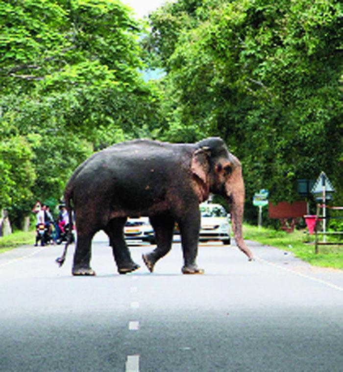An elephant crosses NH 37 in Kaziranga.