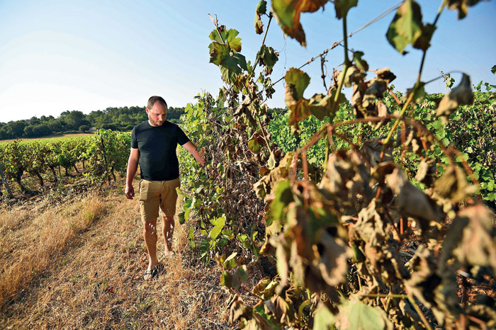 Emilien Fournel, wine producer, looks at his burnt vines on June 30, 2019, in Sussargues, near Montpellier, in the South of France. Fournel estimates that 30 to 50 per cent of his crops were burnt by heatwaves and hot winds
