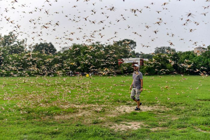 A man looks at a swarm of locusts flying over a field, in Prayagraj, Friday, June 26, 2020