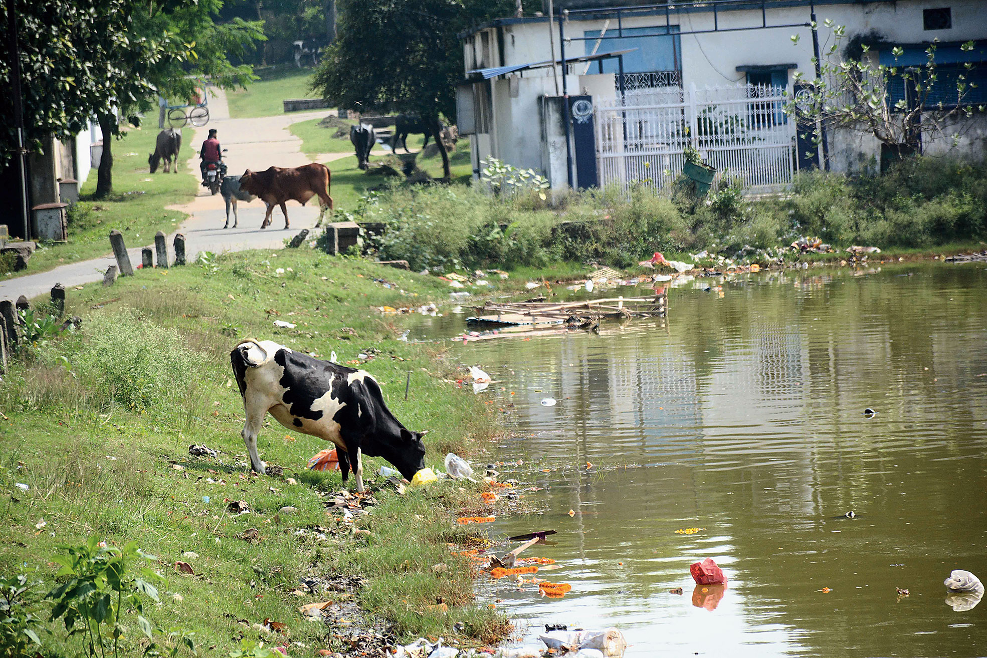 Puja waste chokes 90-year-old pond