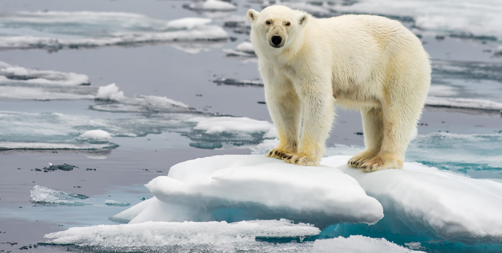 With the melting of Artic ice, polar bears have been forced to migrate in search of food