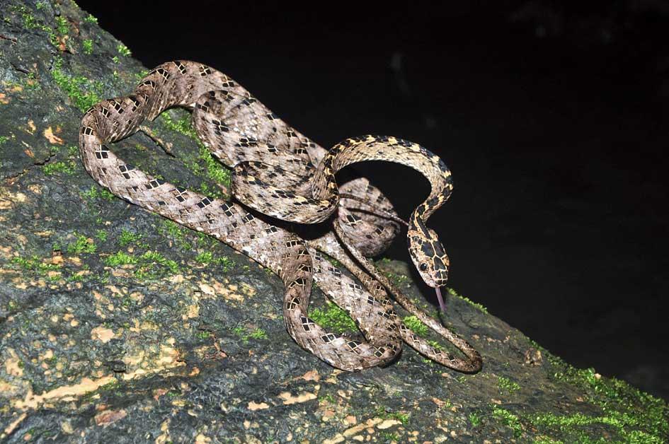 The Assamese cat snake at Barail wildlife sanctuary.