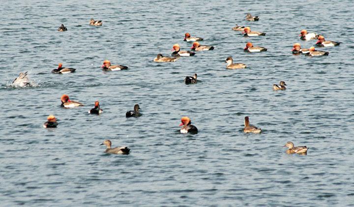 Migratory birds at Topchanchi Lake near Dhanbad.