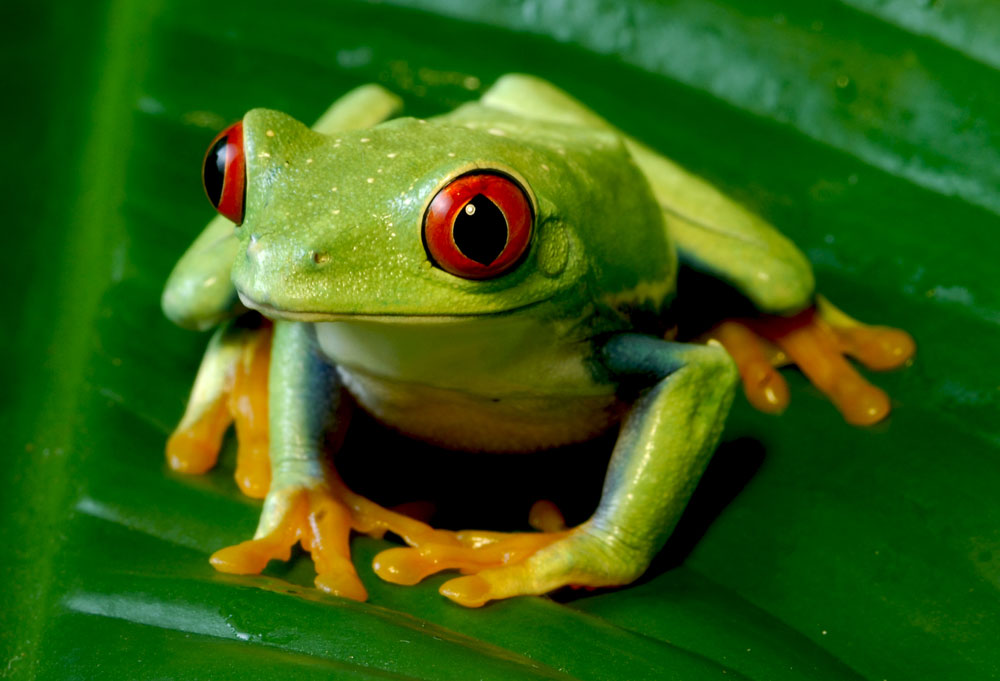 Amphibians are important bioindicators, and are key to maintaining the ecological balance