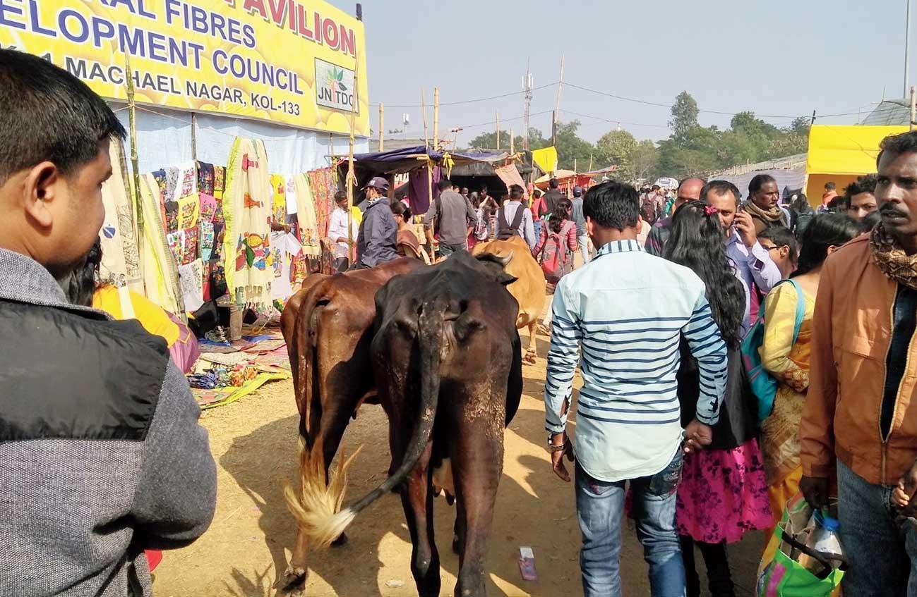 Cows at the fair ground.