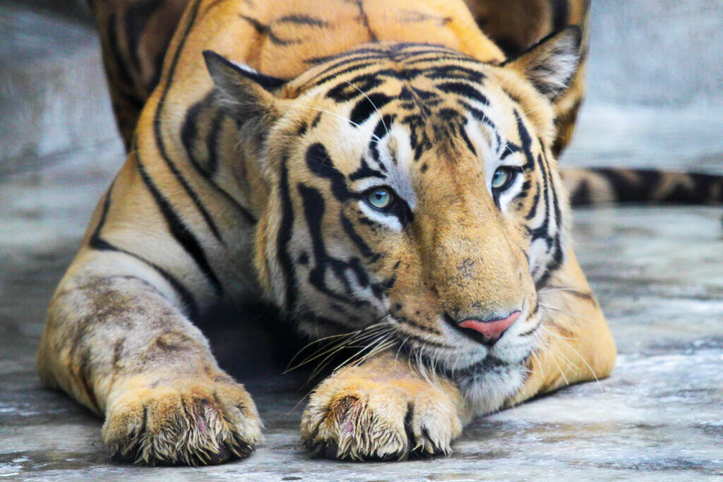 A Royal Bengal tiger rests at its enclosure at the Alipore zoo in Calcutta on Monday, July 29, 2019.