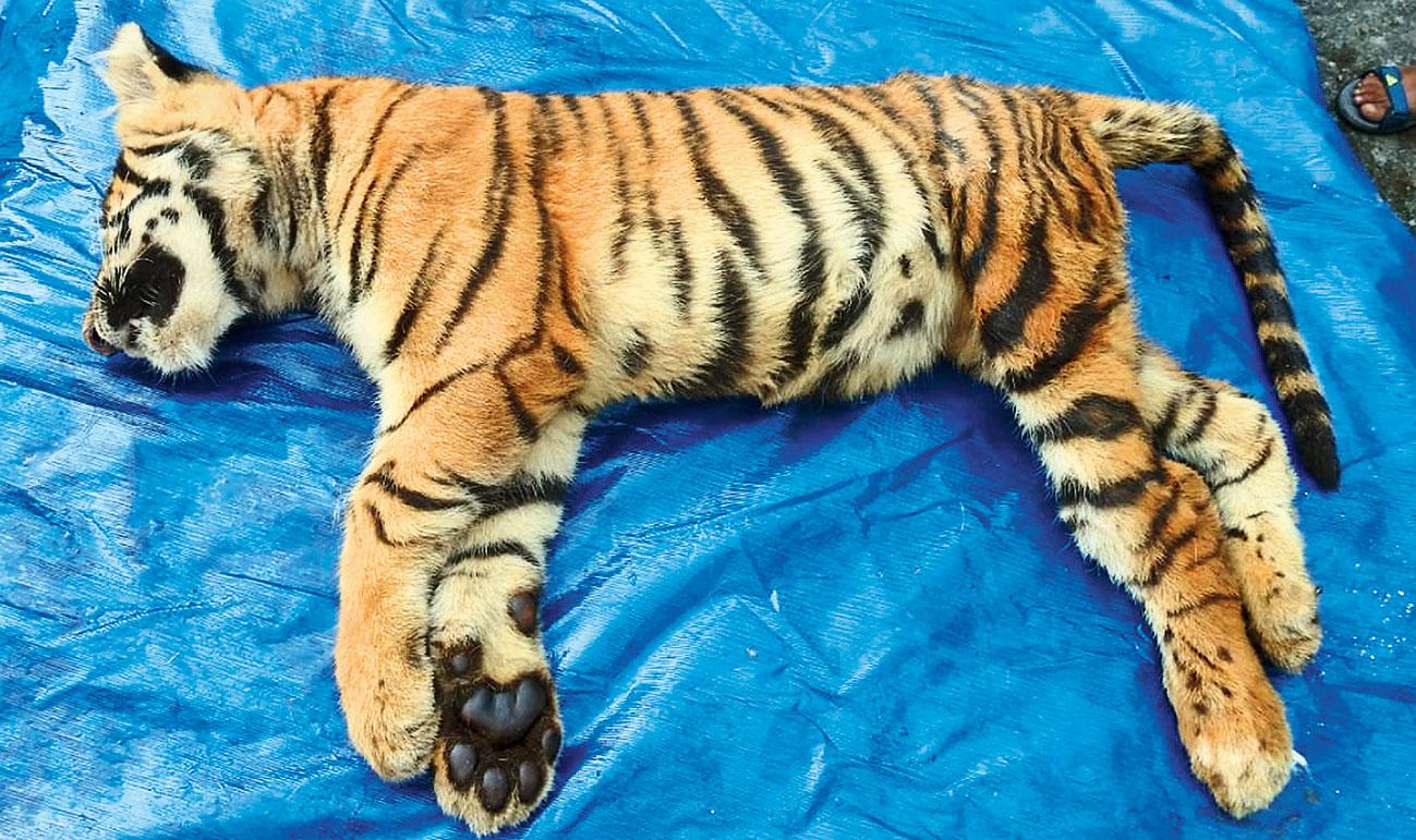 The dead tiger cub