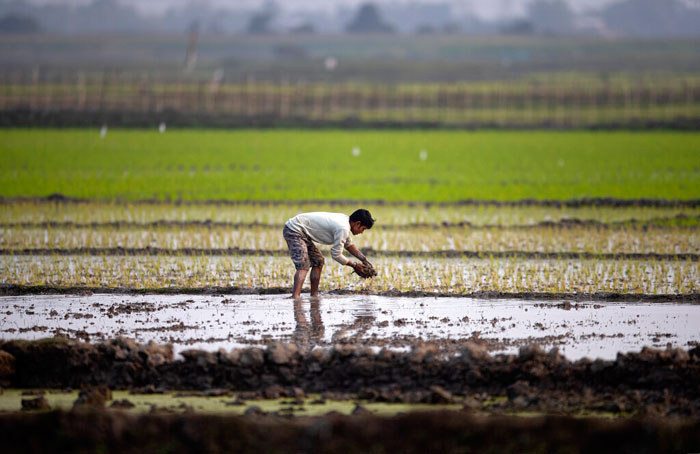 A farmer works in a paddy field on the outskirts of Gauhati, on Saturday