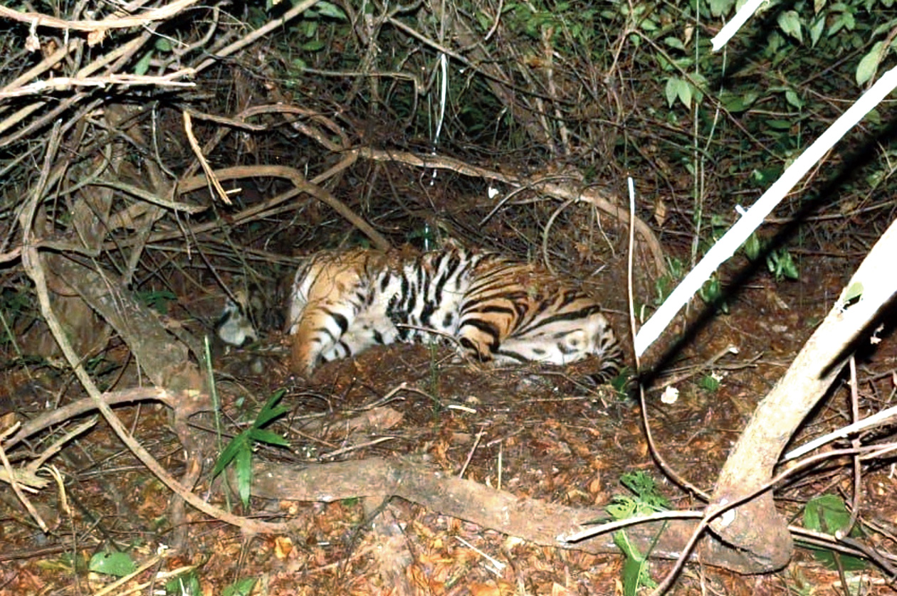 Big blow: The carcass of Mahaveer lies in a pit in the Athgarh forest division.