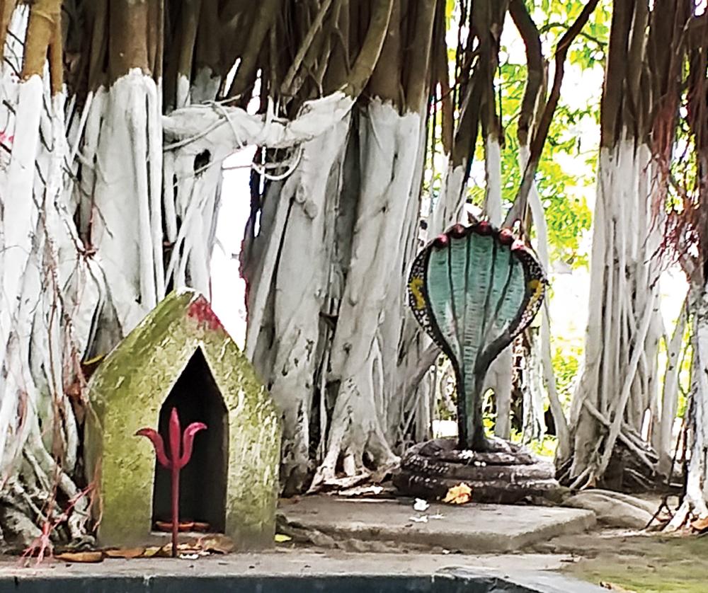 The banyan tree on the premises of the Debi Choudhurani Kali temple near Goshala More near Bengal's Jalpaiguri