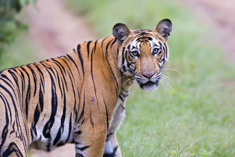 There had been a steady growth in the tiger population in the last few years as India has 2,226 tigers — a jump of 60 per cent compared to figures in 2006.