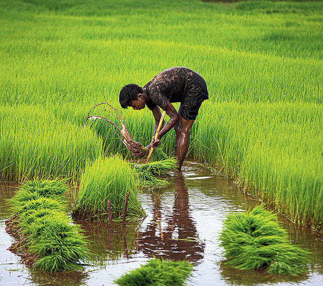 A worker in a paddy field in Guwahati on Sunday.