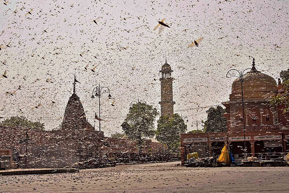 Swarms of locust in Jaipur on Monday. India is battling the worst desert locust outbreak in recent times. The crop-destroying swarms first attacked Rajasthan and have now spread to Punjab, Gujarat, Maharashtra and Madhya Pradesh.