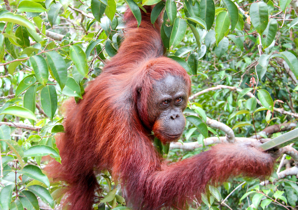 India will buy most of its palm oil from Indonesia. This does not bode well for the endangered animals that inhabit the rainforests of the Southeast Asian nations.
