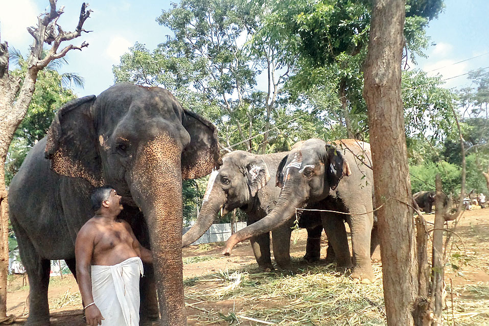 Temple elephants in Thanjavur district, Kerala. Elephants are intelligent creatures that bond deeply with the people they love.