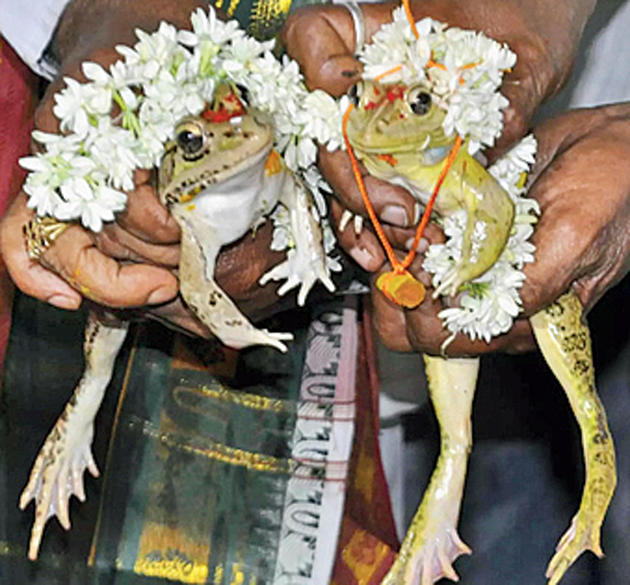 Two frogs were recently married in Bhopal to please the rain gods, as rain eluded the region. Since then rains have wrought havoc in the lives of people. People have now gone ahead and divorced the frogs symbolically to end the rains