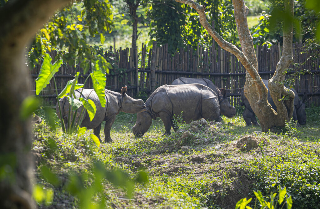 Rhino calves which were rescued from flood waters last year graze at the Centre for Wildlife Rehabilitation and Conservation (CWRC) at Bokakhat, Assam, India, Sunday, Aug. 2, 2020.