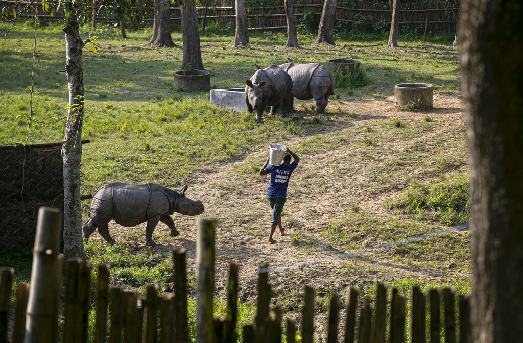 Romen Das, an animal keeper carries food for Rhino calves which were rescued from flood waters last year at the Centre for Wildlife Rehabilitation and Conservation (CWRC) at Bokakhat, Assam, India, Sunday, Aug. 2, 2020.